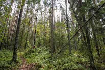 Metsähallitus kartoittaa Lapin luonnontilaisia metsiä – Pyytää ilmoituksia arvokkaista luonnonmetsistä