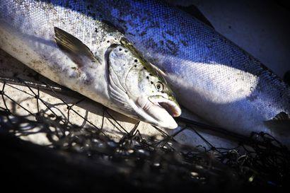 Nyt nappaa – Viikonloppuna ohjattua kalastusta lapsille ja nuorille Rovaniemellä ja Sodankylässä