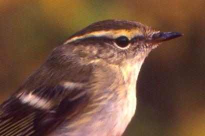 Lintujen kevätmuutto jatkuu yhä – Yleinen syksyvieras Siperiasta nähty Utsjoella