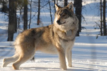 Loppuuko koirametsästys kokonaan, kun Luonnonvarakeskus ei enää tarjoa tietoa pantasusien liikkeistä?