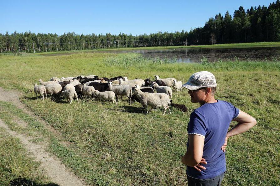 Sudet tappoivat parikymmentä eri-ikäistä lammasta Risto Ollilalta. Hän on siirtänyt koko viikon ajan loppuja lampaita turvallisempaan ympäristöön. Edes sähköaita ei pidätellyt susia.