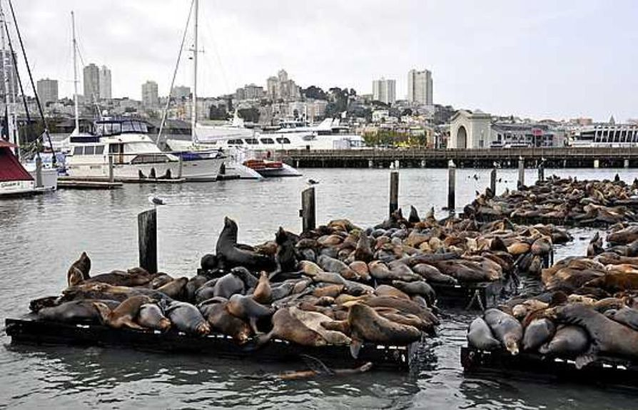 San Franciscon kalifornianmerileijonat elävät sulassa sovussa ihmisten kanssa keskellä kaupungin turistisatamaa. Ne ovat oppineet varomaan veneiden potkureita.