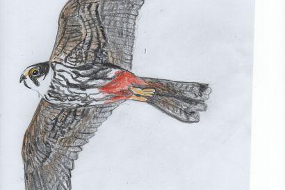Viikon luontoääni: Nuolihaukka on Koillismaalla harvinainen – koko maan kanta on alle 3000 paria