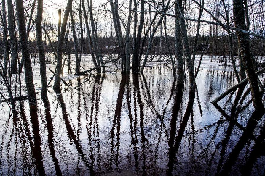 KOKKOLA: Keski-Pohjanmaallakin jokien pinta on monin paikoin ylempänä ja virtaama suurempi kuin keskimäärin tähän aikaan. Perhonjoki on levinnyt yli äyräidensä, eikä lumesta ole tietoakaan.
