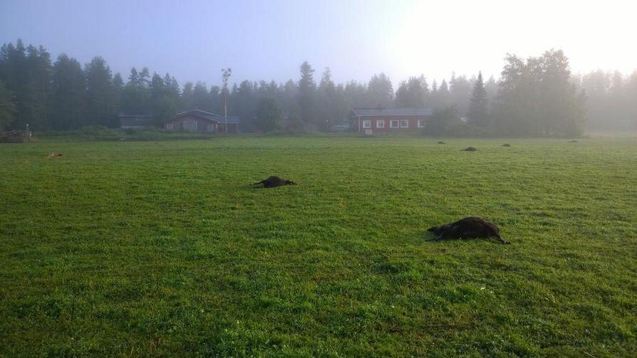 Lampaat löytyivät laitumelta kuolleina lauantaiaamuna.