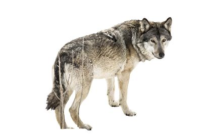 Susien hampaissa on kuollut tänä syksynä yli 20 koiraa sekä kymmeniä poroja – Haapaveden kaupunki vaatii susien määrän vähentämistä