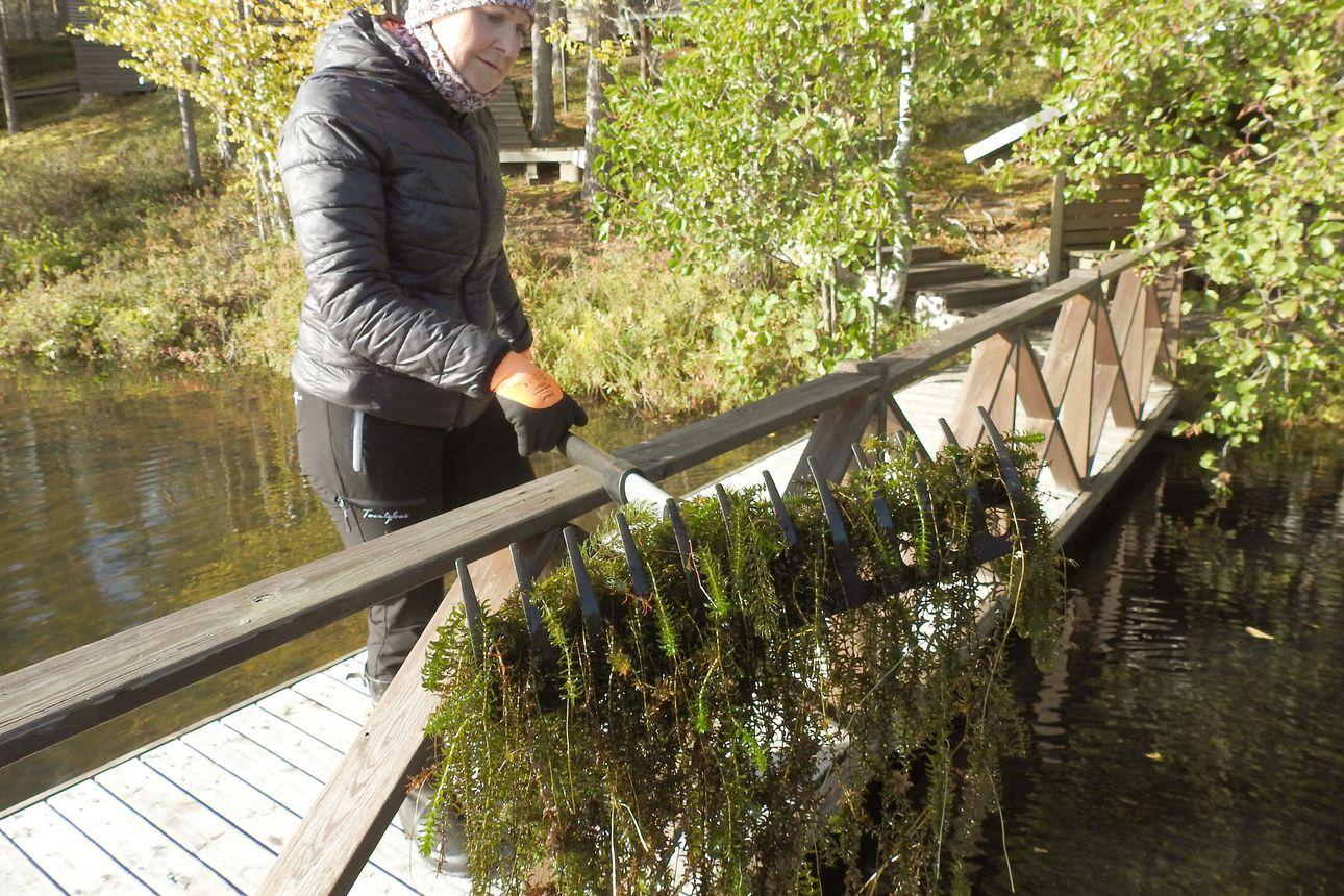 Jopa veneilyn estävä vesirutto leviää yhä uusiin vesiin – pienikin pätkä sitkeää kasvia riittää levittämään ruttomaton koko järveen