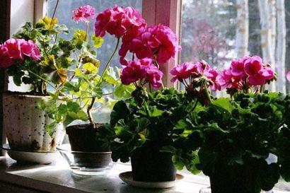 """Herraskodeissa ykköskoriste oli ruusu ja maalaiskodeissa kurjenmiekka Kuusamossa sata vuotta sitten – """"Huonoissa ja ahtaissa asunnoissa talvisin kukat usein kuolevat"""""""