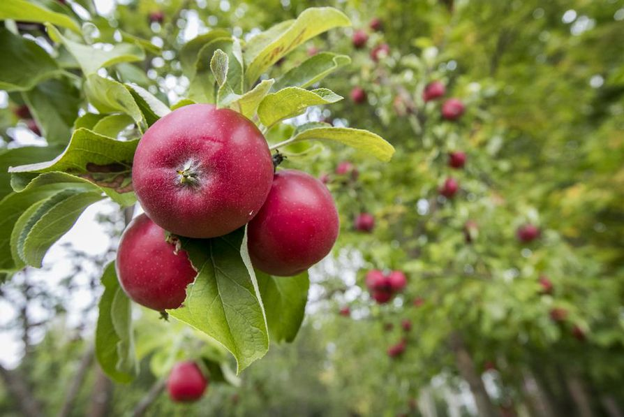 Omenat kannattaa ensisijaisesti syödä tuoreena tai käyttää niitä erilaisissa ruoissa. Ylijäämäomenia voi tarjota esimerkiksi päiväkodeille ja kouluille. Jätekeskus on vaihtoehdoista viimeinen.
