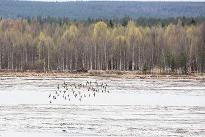 Lintupaikka: Vesilinnut valtaavat lahden Niskanperällä