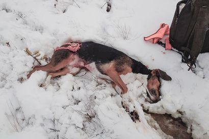 Susi tappoi koiran Pyhännällä