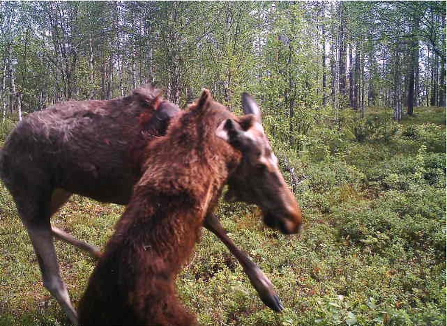 Hirvelle kävi huonosti tässä karhun hyökkäyksessä.