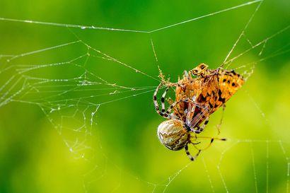 Ristihämähäkki teki perhosesta kätevän ruokapaketin – rovaniemeläiskuvaaja pääsi dokumentoimaan hämähäkin aamiaisen hienoon kuvasarjaansa