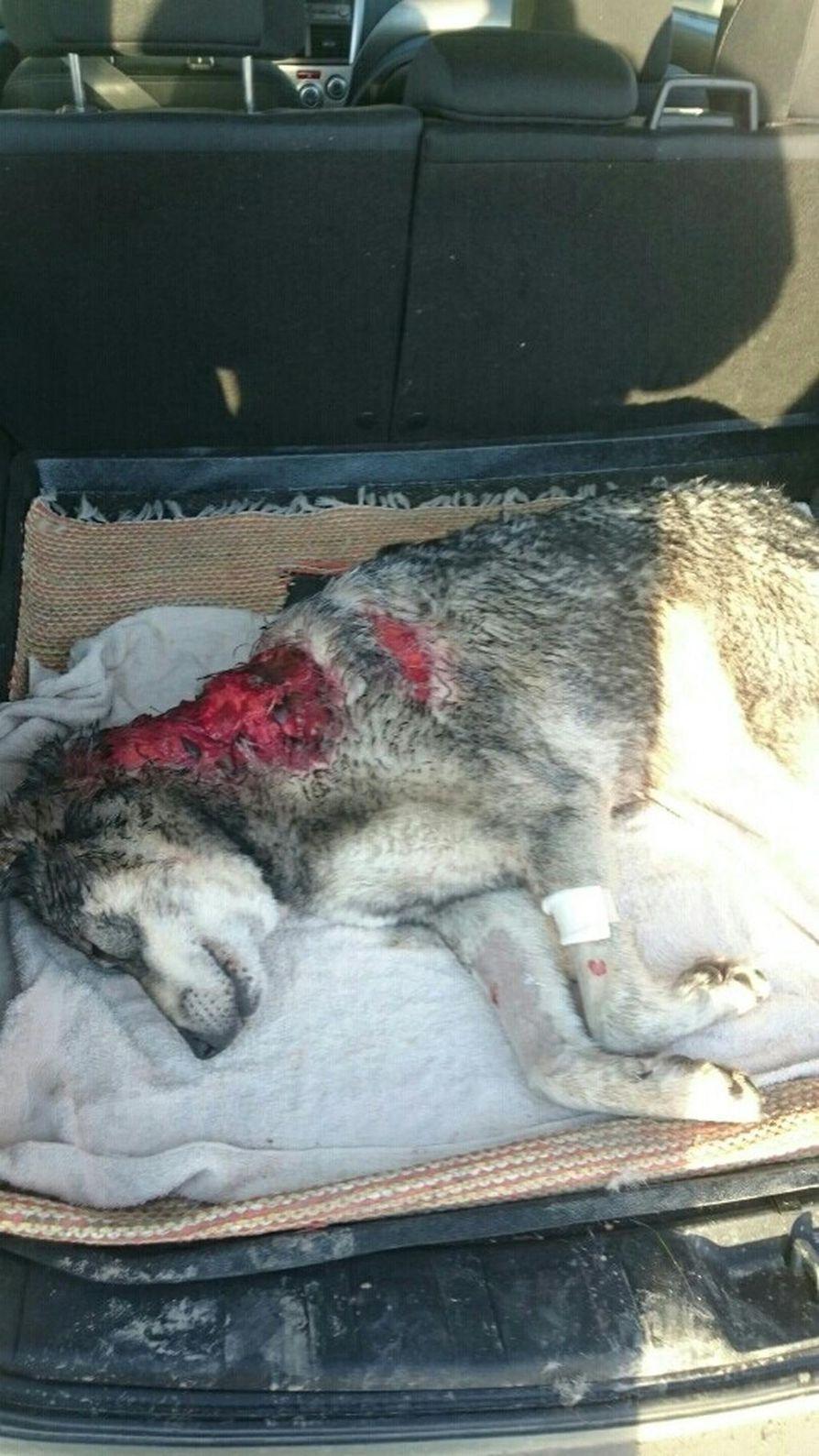 Koira oli saanut pahoja vammoja niskan alueelle.