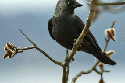 Naakka on kiinteistöpäälliköstä viheliäisen taitava lintu sillä se pistää nokkansa joka paikkaan