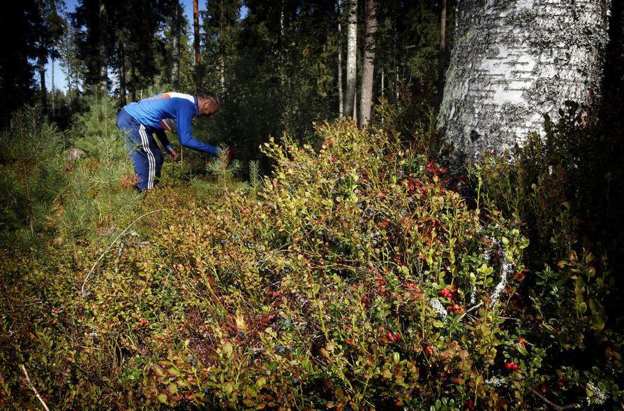 Mustikka ja puolukka sekä suomuurain kattavat yli 95 prosenttia Suomen metsistä poimittavista marjoista. Lauri Ahopelto kerää niitä kaikkia.