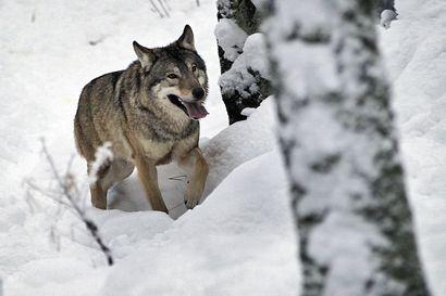 Luken selvitys: Suomessa pitäisi olla nykyistä enemmän susia, jotta populaatio olisi elinvoimainen