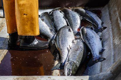 Lohenpyyntiä lisätään ensi vuonna merellä – pyyntikiintiö vastaa ensi kertaa tutkijoiden suosituksia