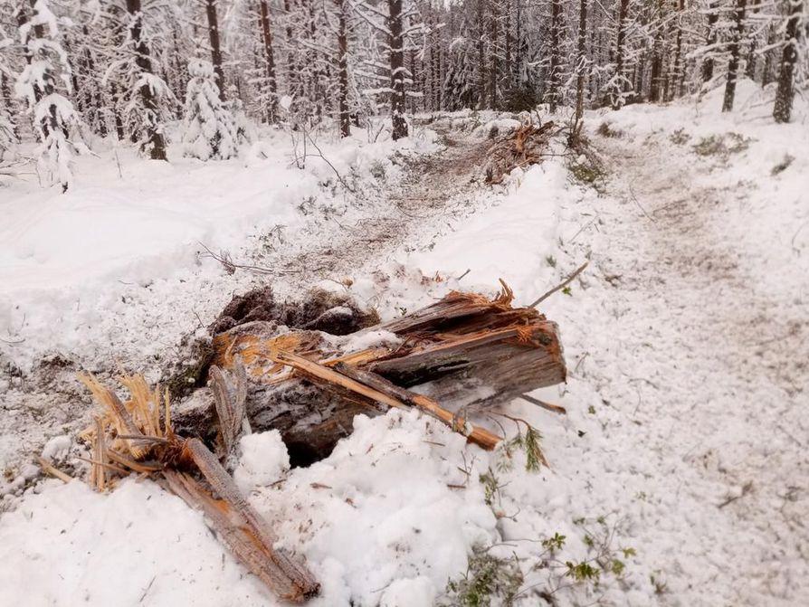 Metsäkoneen yliajama uhanalaisten jäkälälajien tarvitsema palokanto kuvattiin keskiviikkona Vienan reitin hakkuulla .