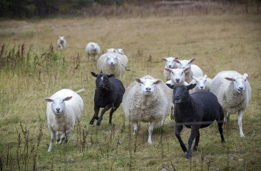 Noin 30 lampaan jääminen kateisiin on lampureille taloudellisestikin merkittävä asia. Kuvituskuva.