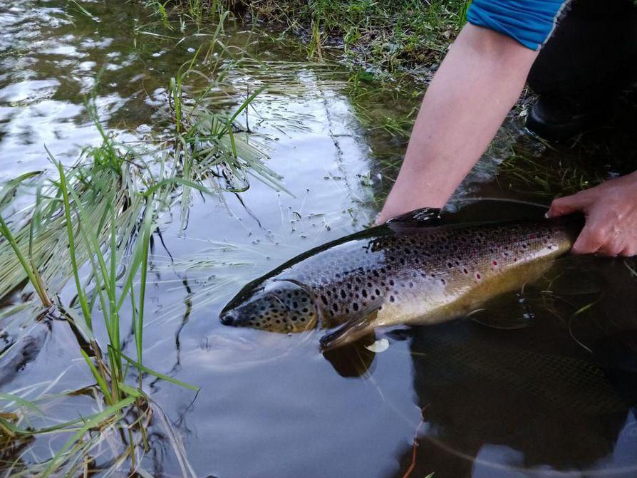 Kun kalan vapauttaa takaisin jokeen, sitä ei kannata nostaa missään vaiheessa kokonaan pois vedestä. Kalan hengittäminen on helpompaa, kun sen pää on vedessä.