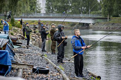 Tuima taisto toi liminkalaiselle Kyösti Kurtille iltakalalla komean lohen – Oulun Hartaanselän kalapaikoilla tulee välillä ahdasta, kun rannat kuhisevat kalastajia