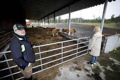 Maitotilojen vähentyminen aiheuttaa haasteita naudanlihan tuotannossa – Suomen suurimmassa nautamaakunnassa Pohjois-Pohjanmaalla käydään kovaa kilpailua vasikoista ja poistolehmistä