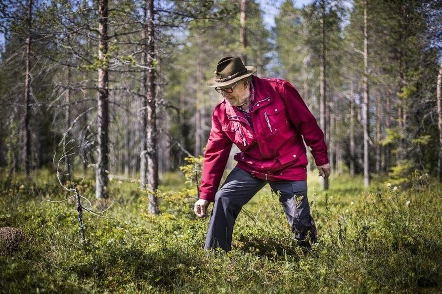 Nuorempana hillatohtori Taisto Illikainen poimi hilloja itsekin. Nykyään hän jättää poimimisen                       nuoremmille mutta poikkeaa silti monta kertaa kesässä suolle katsastamaan satonäkymiä.