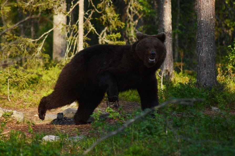 Kuusamossa kuvaus- ja ruokintapaikalla vieraileva nuori karhu sai näätäraudat riesakseen vuosi sitten. Nyt mietitään, mitä eläimelle pitäisi tehdä. Lammintuvan kuvauspaikan yrittäjä Jyri Heiskanen toivoo, että karhu nukutettaisiin ja rauta otettaisiin pois hyväkuntoiselta vaikuttavan nuoren karhun etujalasta.