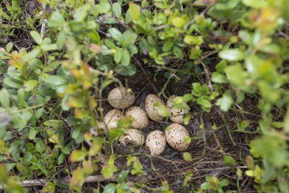Monen lintulajin pesimäkausi on aikaistunut ja lyhentynyt – tutkimuksessa selvitettiin lintujen pesintää rengastusaineistolla