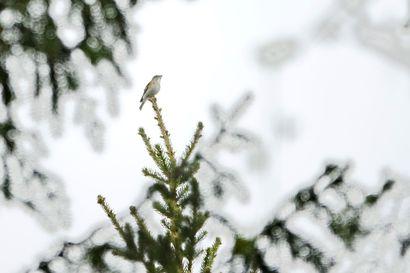 Sinipyrstön esiintymisessä Suomessa ennätysvuosi – yli 700 reviiriä löytynyt