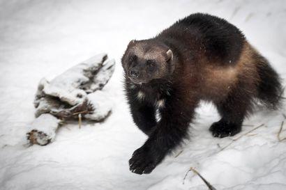 Ahmojen metsästykseen saa tänä talvena enintään kahdeksan poikkeuslupaa –Ahmojen porovahingot ovat suuremmat kuin suden, karhun ja ilveksen aiheuttamat vahingot yhteensä