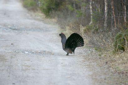 Metsäkanalintujen metsästys alkaa sunnuntaina – katso, mitä alueellisia rajoituksia on eri linnuille