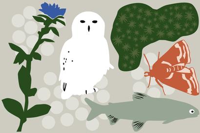 Tunturipöllöltä loppuu ruoka, kiiltoluppo jää porojen jalkoihin – nämä Lapissa elävät lajit ovat vaarassa kadota