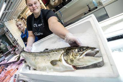 Perämeren lohta saatu tänä kesänä ennätyksellisen hyvin Oulun edustalta–enää hinta ei laske pohjalukemiin, koska kalastuskiintiöt pitävät lohen tarjonnan tasaisena