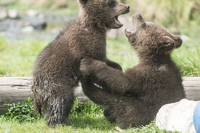 Karhunpennun Kuusamossa ampuneen miehen tuomio pysyi hovioikeudessa – syyllistyi törkeään metsästysrikokseen