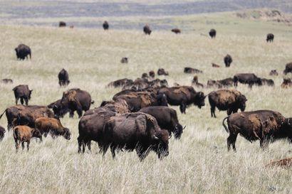 Karkuteille lähteneistä biisoneista varoitetaan Kainuussa – Sotkamon Laakajärvellä liikkuu kaksi emoa vasikoineen