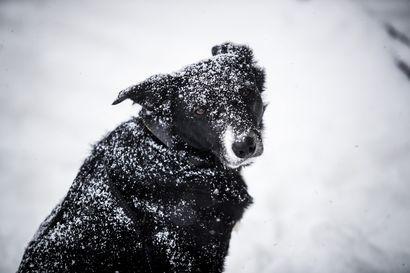 Uuden vuoden raketteja pelkäävän koiran oloa voi helpottaa kodin turvapaikka ja taustahäly – toimi näin, jos lemmikki pelkää räiskettä