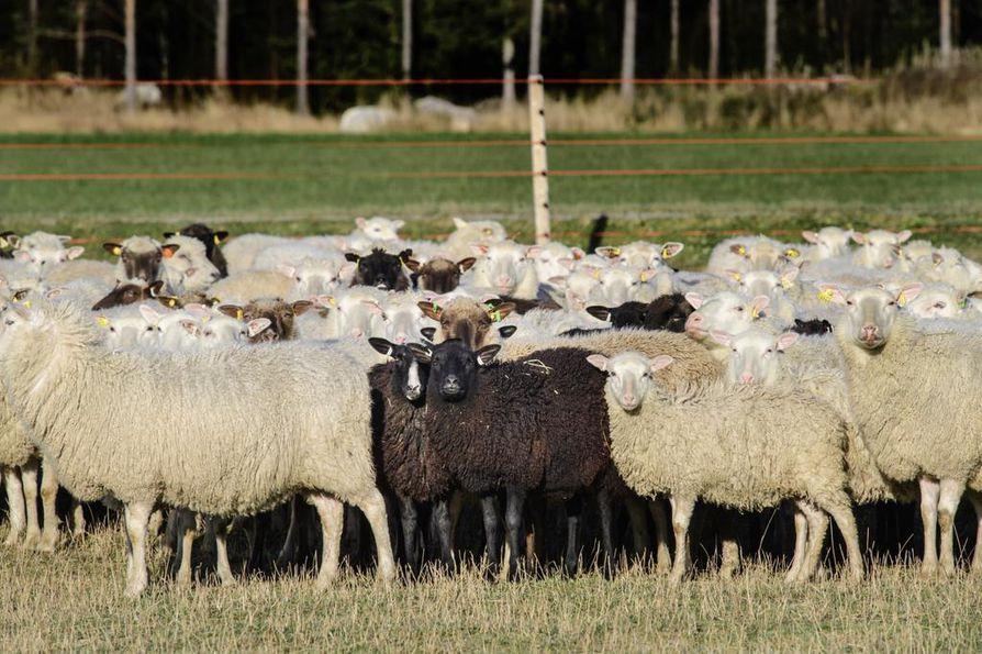 Petoaita suojelee lampaita susilta Kannuksessa. Sähköiset aidat estävät suurpetojen pääsyn laidunalueille.