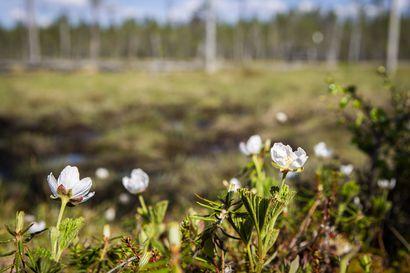 Hillankukkaa on Lapissa runsaasti, mutta kaikista kukista ei kehity marjaa – sormella kokeilemalla selviää, löytyykö kukasta mykyrä