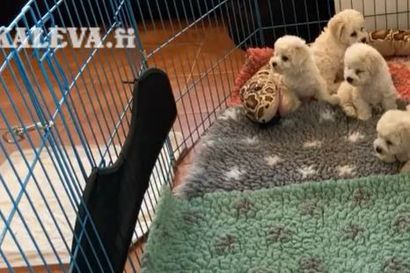 Kalevan koiranpentulive: Pian kahdeksanviikkoiset valkoturkit lauantaiaamun tunnelmissa