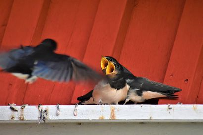 Haarapääskyemo kantaa ravintoa nälkäisille poikasilleen Pernussa - Katso kuvat tästä