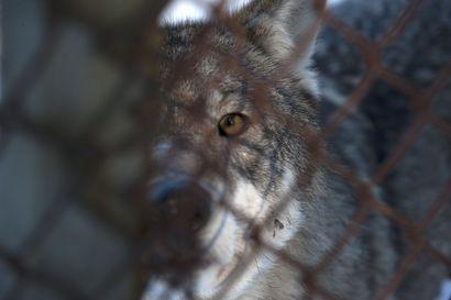 Metsästäjä ampui koiransa kimpussa ollutta pantasutta, joka löytyi myöhemmin kuolleena – poliisi tutkii oliko kyseessä pakkotila vai ei