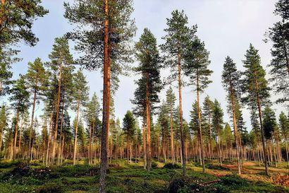 """Pudasjärven suviseuroihin valmistaudutaan jo lentokentän alueella – """"Virkistysalueen puustolla on nyt hyvin tilaa ja valoa järeytyä kunnon petäjiköksi"""""""