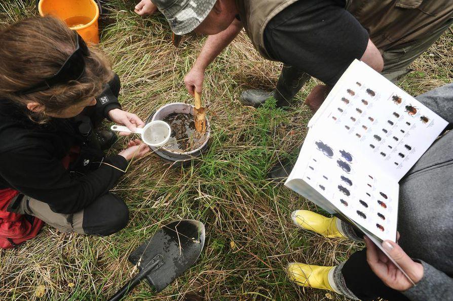 Kun lantakasa nostetaan vesiämpäriin, lähtevät lantakuoriaiset ja muut hyönteiset liikkeelle. Mannerkoski löysi samalla metodilla myös kolme vuosikymmentä kadoksissa olleen isolaakasittiäisen vuonna 1996.