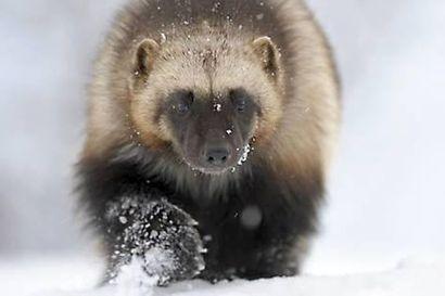Ministeriö esittää kahdeksan ahman tappokiintiötä poronhoitoalueelle – WWF pitää erittäin uhanalaisen lajin tappamista järjettömänä