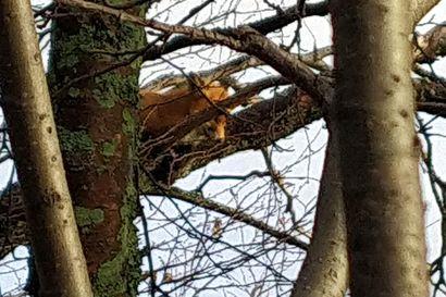 Kettu nukkui puussa Posiolla – Erikoistutkija: harvinainen tapaus