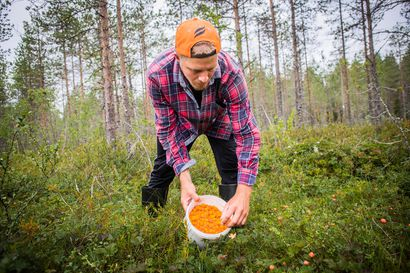 """""""Kun hillakausi alkaa, ei meinaa unta saada, niin levoton olo"""" – Ranualainen ammattihillastaja Viljo Petäjäjärvi poimii marjoja kolme viikkoa aamusta iltaan"""