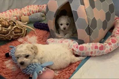 Kalevan koiranpentulive – Katso videolta söpöläisten perjantaiaamun tunnelmia
