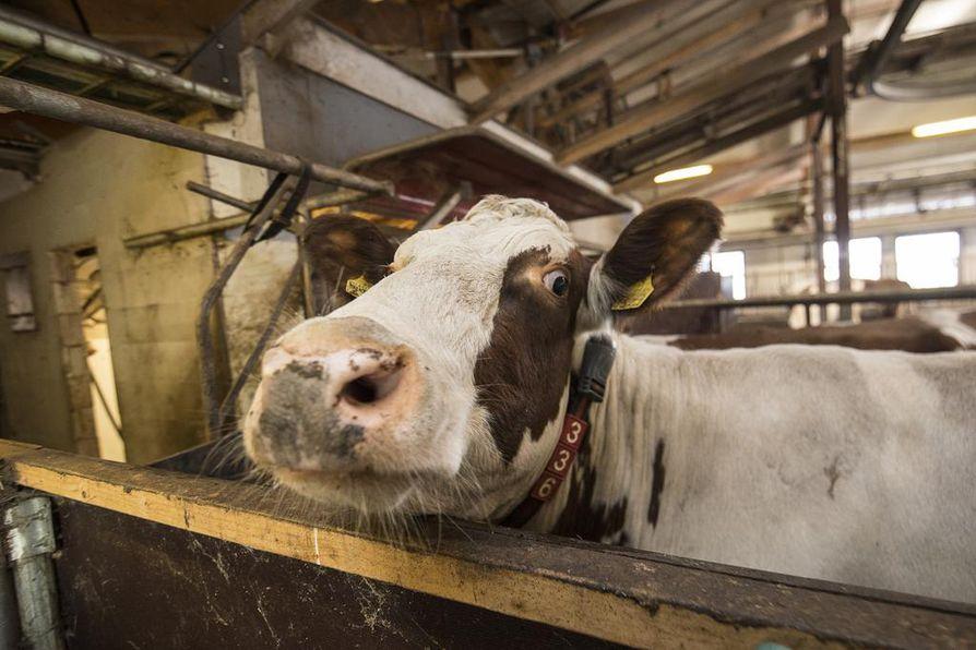 Minäkin olisin halunnut Helsinkiin. Maaseutunuoret toivat lehmiä näytille Helsingin keskustaan. Lehmä on ollutkin viimeisen vuoden aikana puhutuin kotieläin ilmastokeskustelussa.